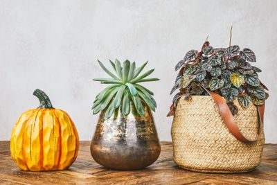 wooden carved pumpkin, succulent houseplant, and rattlesnake houseplant neatly lined up