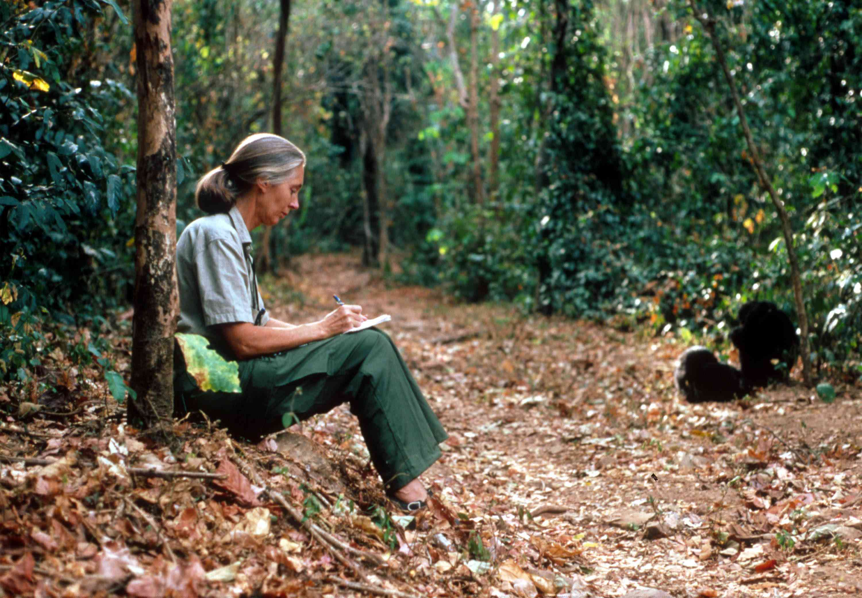 Scientist Jane Goodall studying the behavior of young chimps