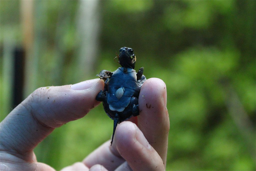 bog turtle hatchling