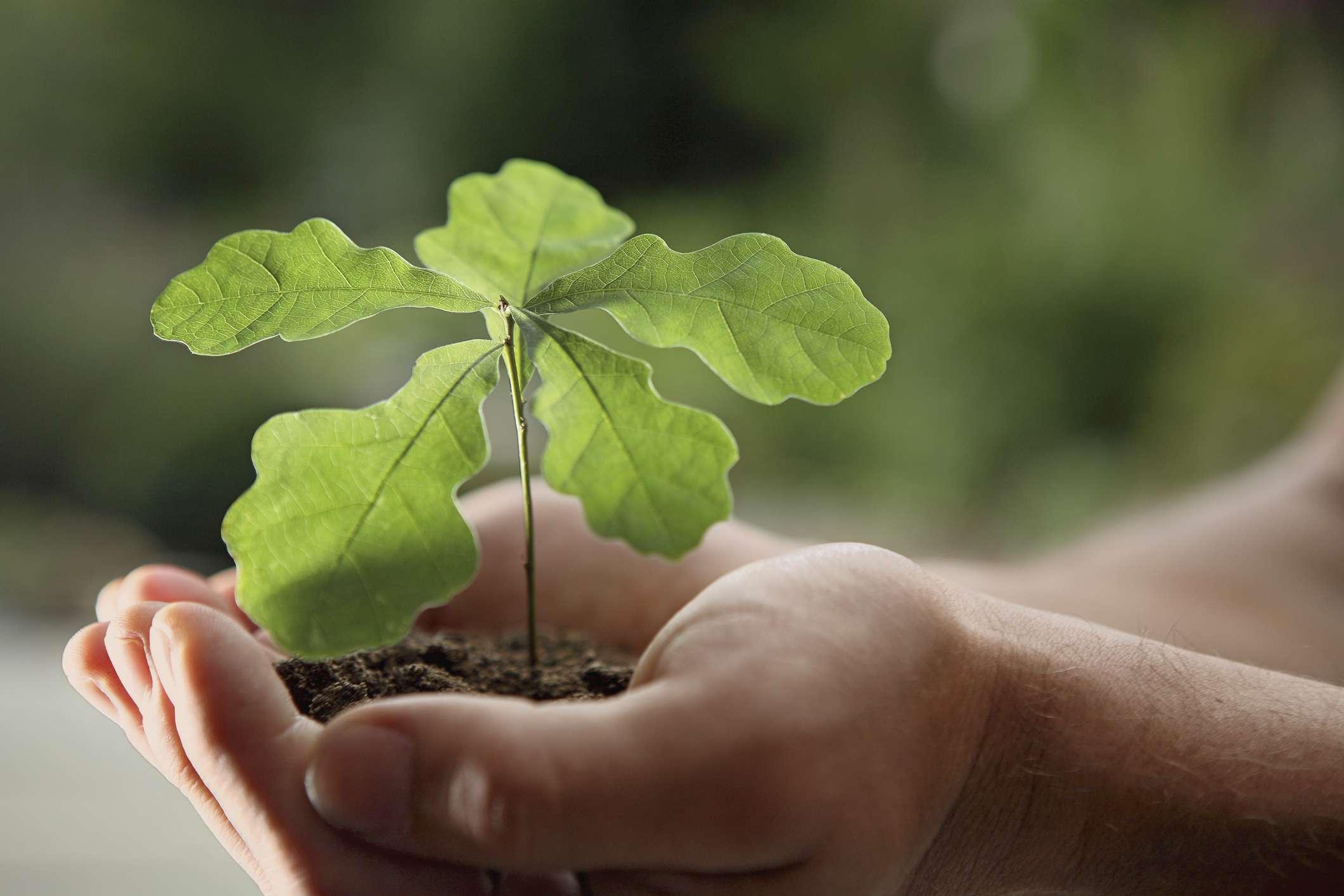 Oak seedling being held in white hands.