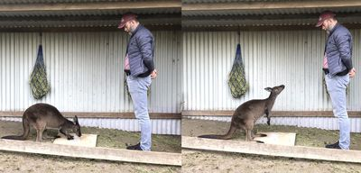 A kangaroo gazes at a box with food inside it and a person.