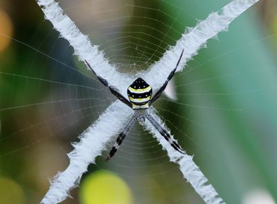 A female St. Andrews cross spider with a large X in her web.