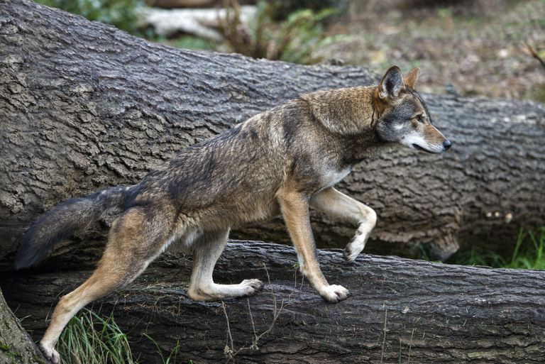 There are believed to be just 20 red wolves left in the wild.