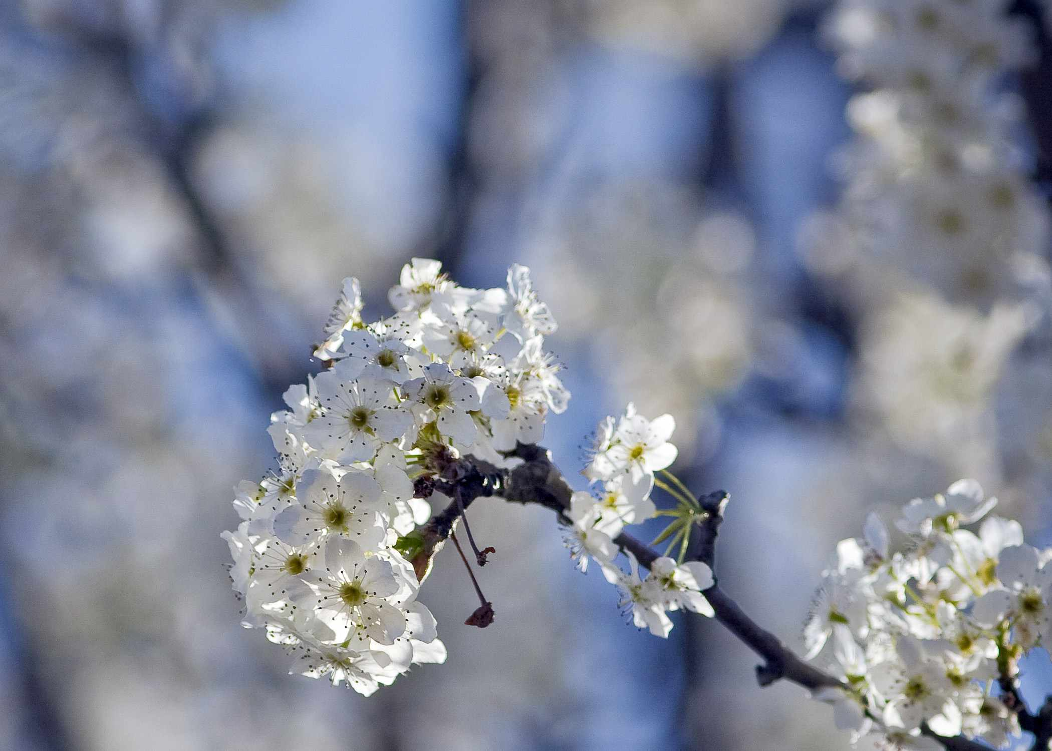 Close up of blossoms on an Aristocrat Callery pear tree.