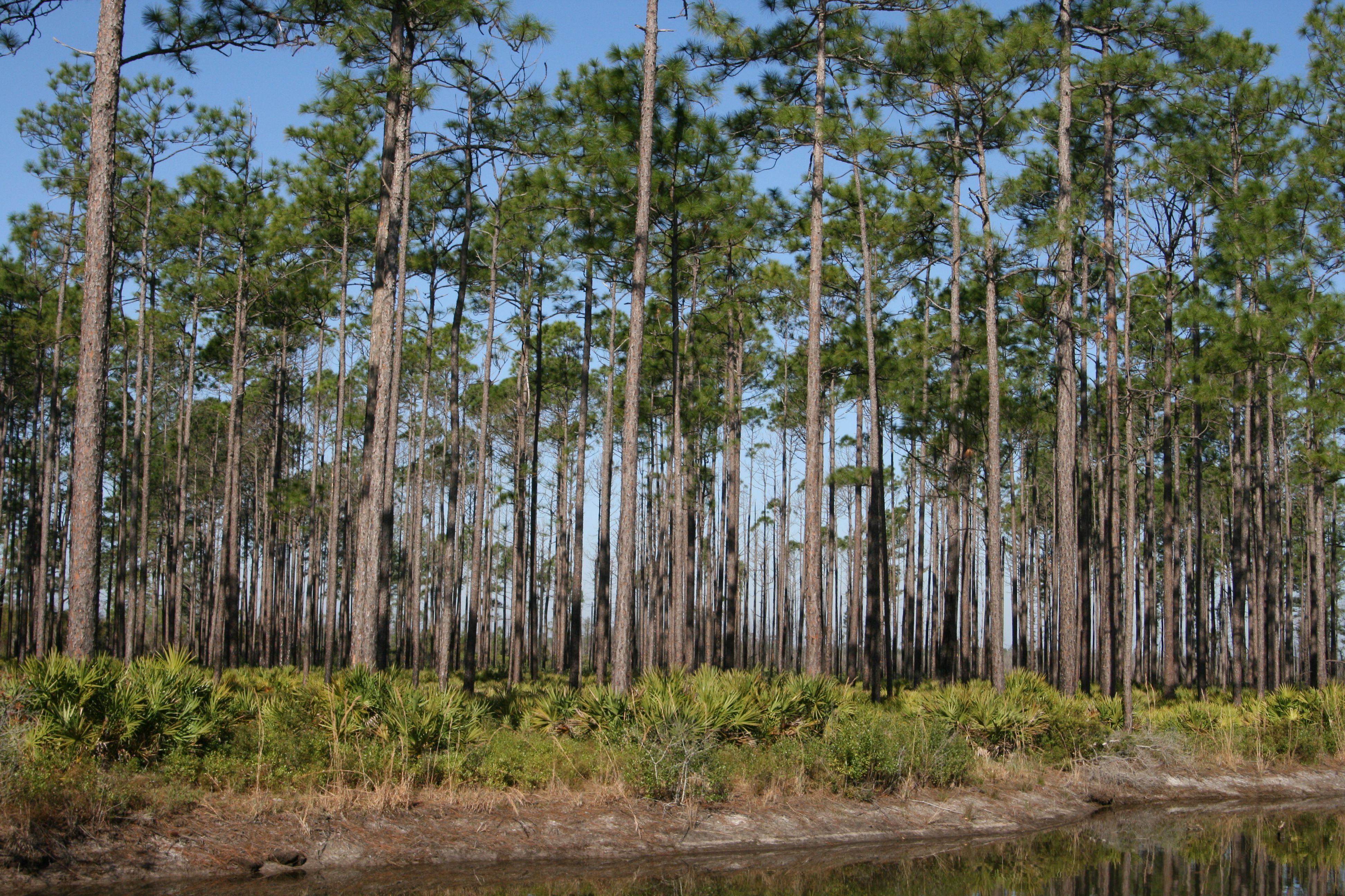 A forest of slash pine trees along a river.