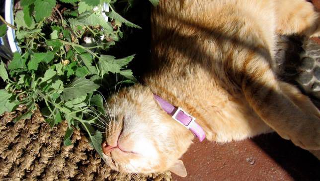 Why Your Cat Goes Crazy For Catnip