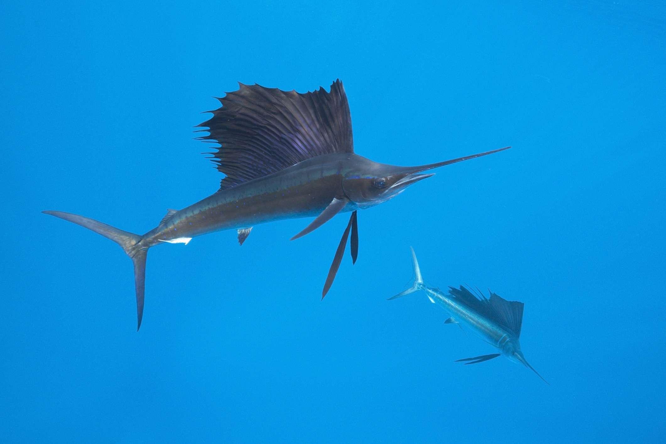 Pair of sailfish underwater