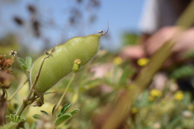 An insect crawls along a peashoot in a food forest