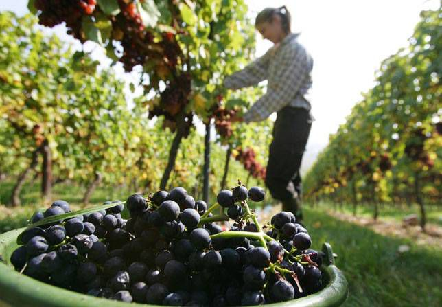 A field worker harvests grapes at a vineyard in Bingen at Rhine, Germany