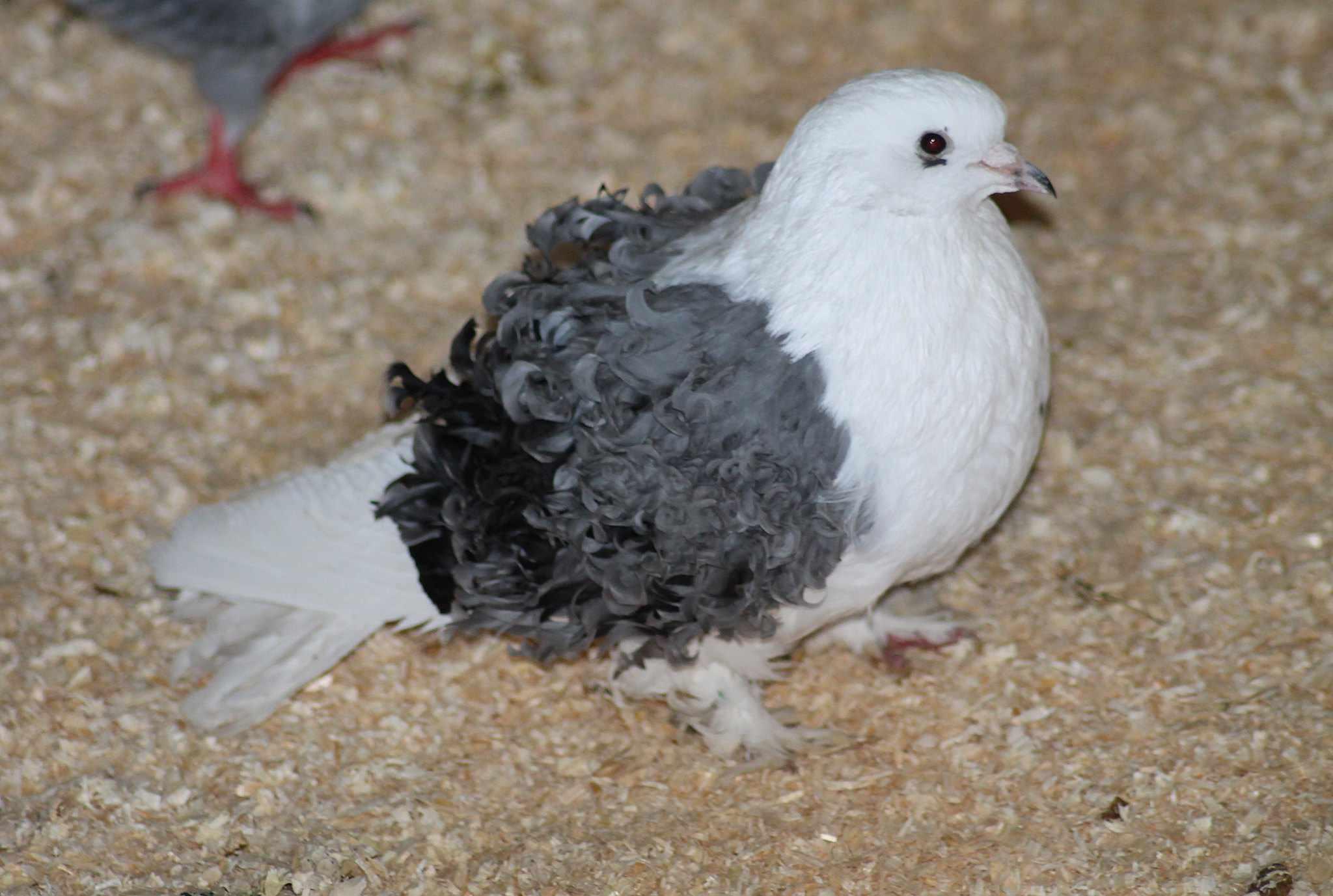 Frillback pigeon standing on sawdust