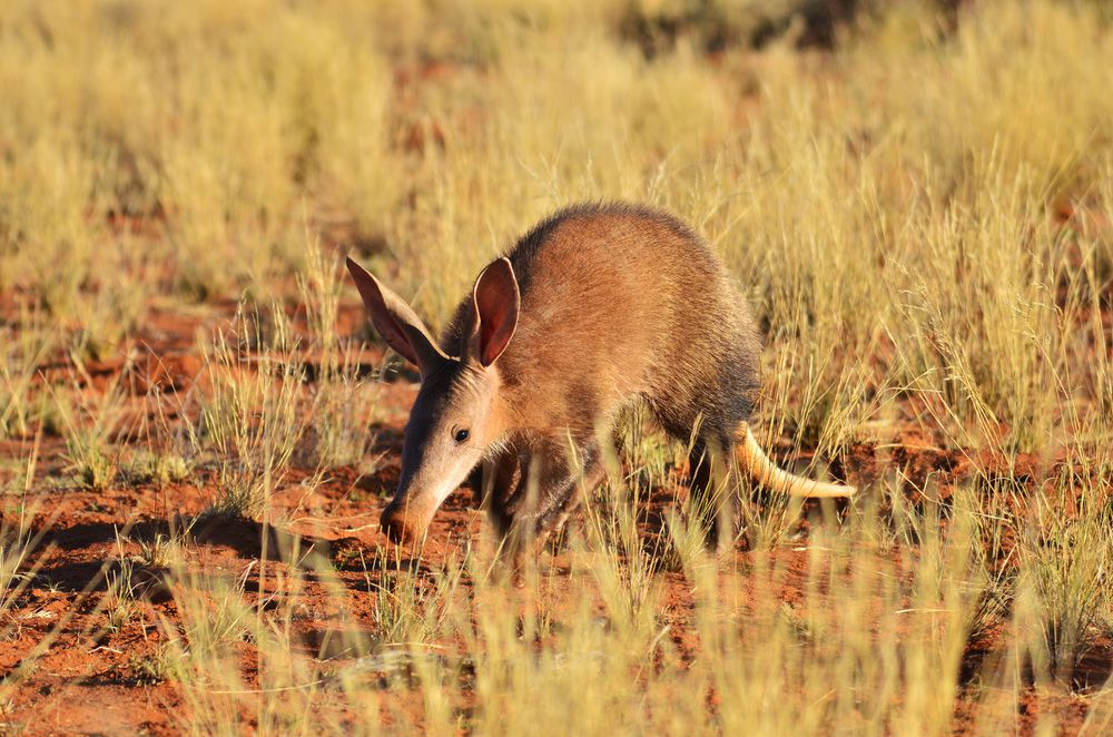 A brown aardvark with its ears perked up in a grassy clay field