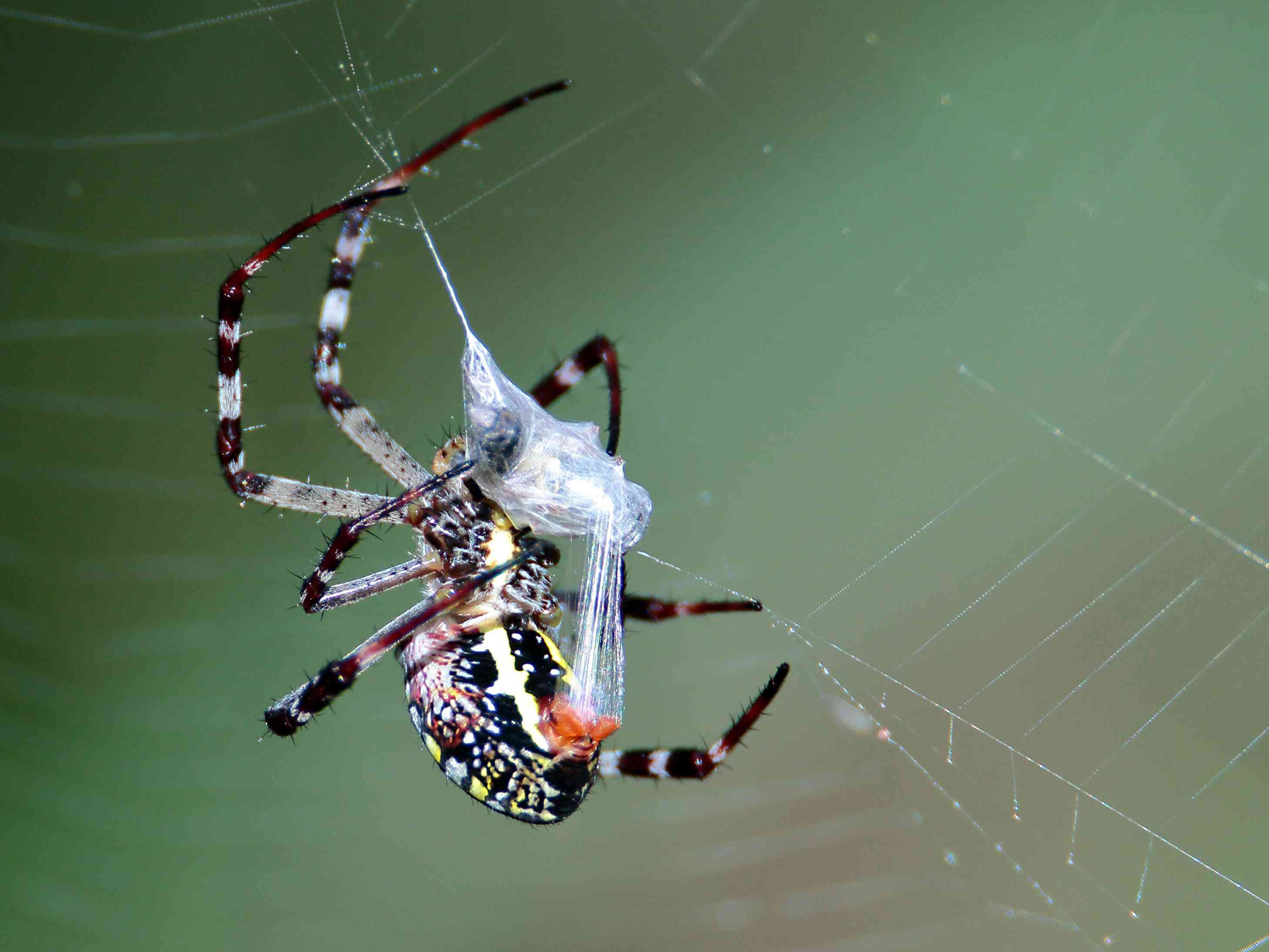 orb weaver spider wrapping prey in silk