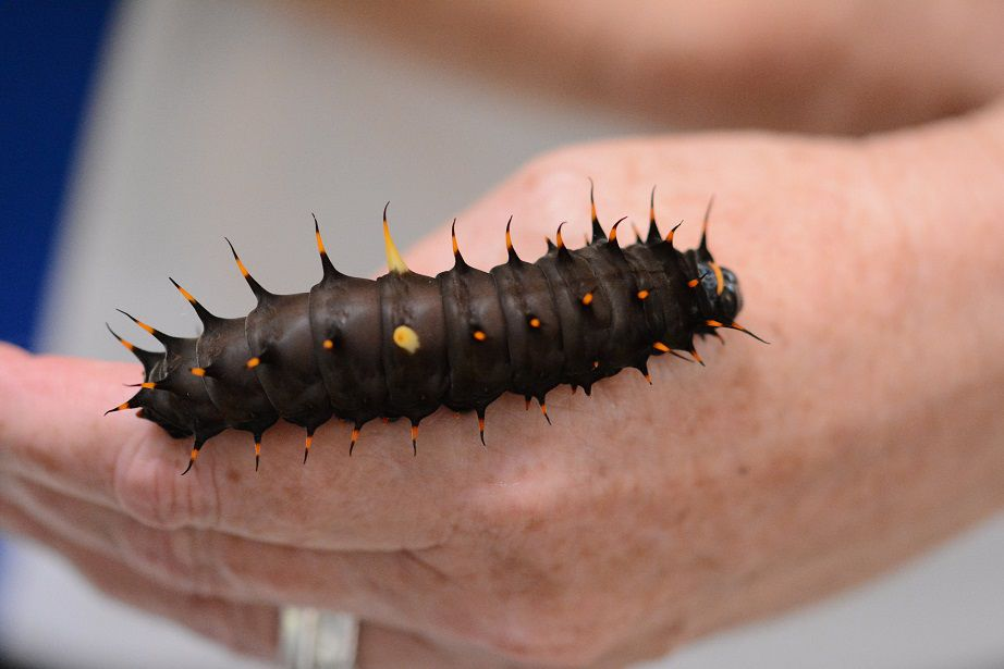 A black Cairns birdwing caterpillar with yellow and red spikes on a human hand