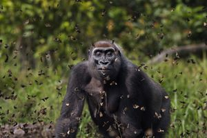 Western lowland gorilla in cloud of butterflies