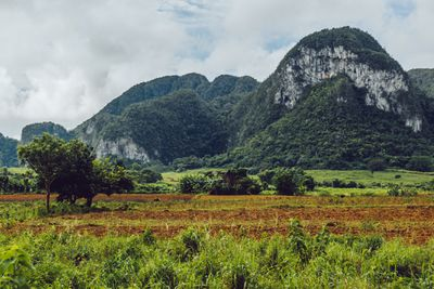 View of Viñales Valley, with rows of plants growing at ground level and large limestone rock formations covered in green plants in the distance below a sky with white clouds
