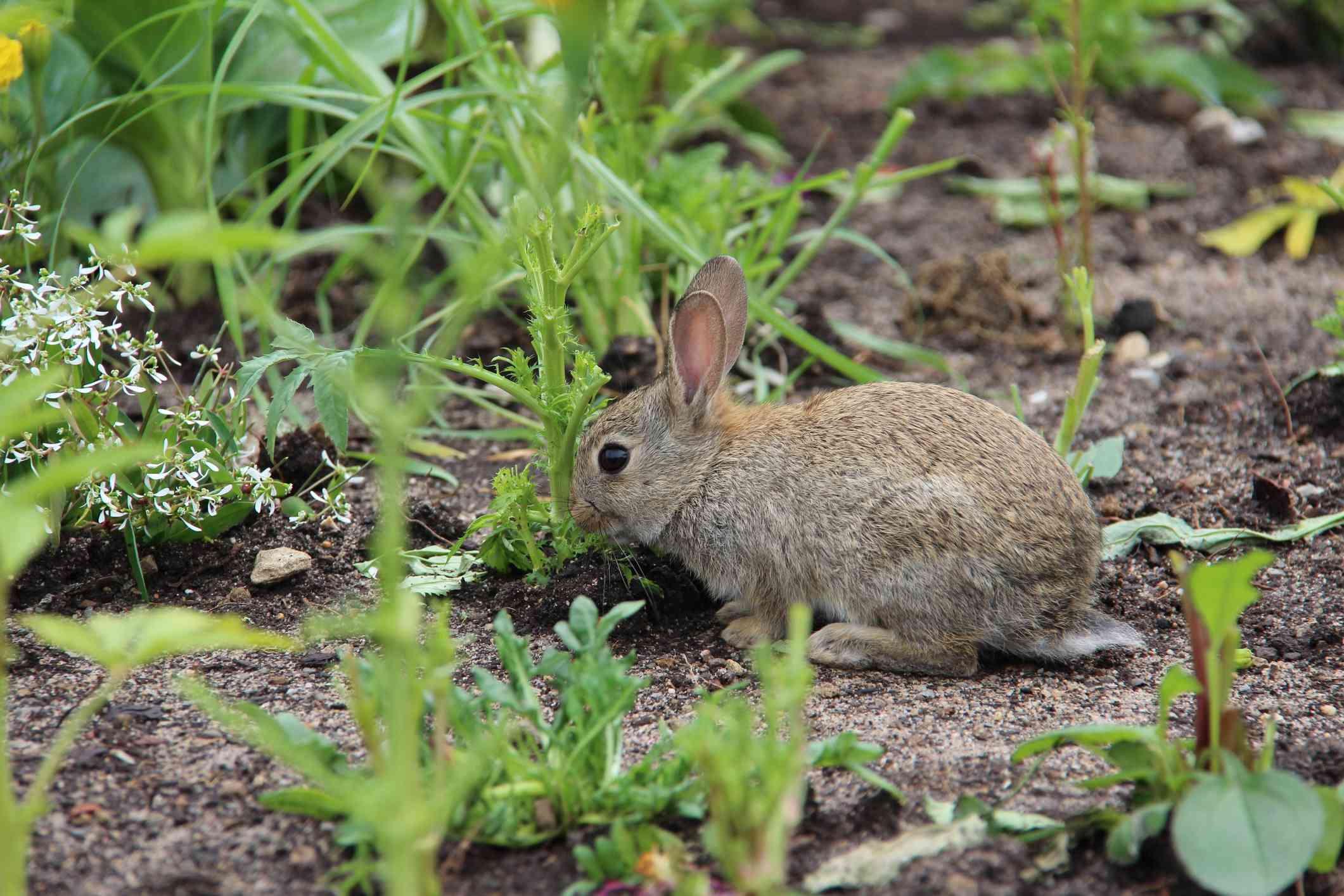 Brown rabbit in a vegetable garden