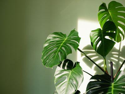 Monstera deliciosa houseplant in bright sunlight