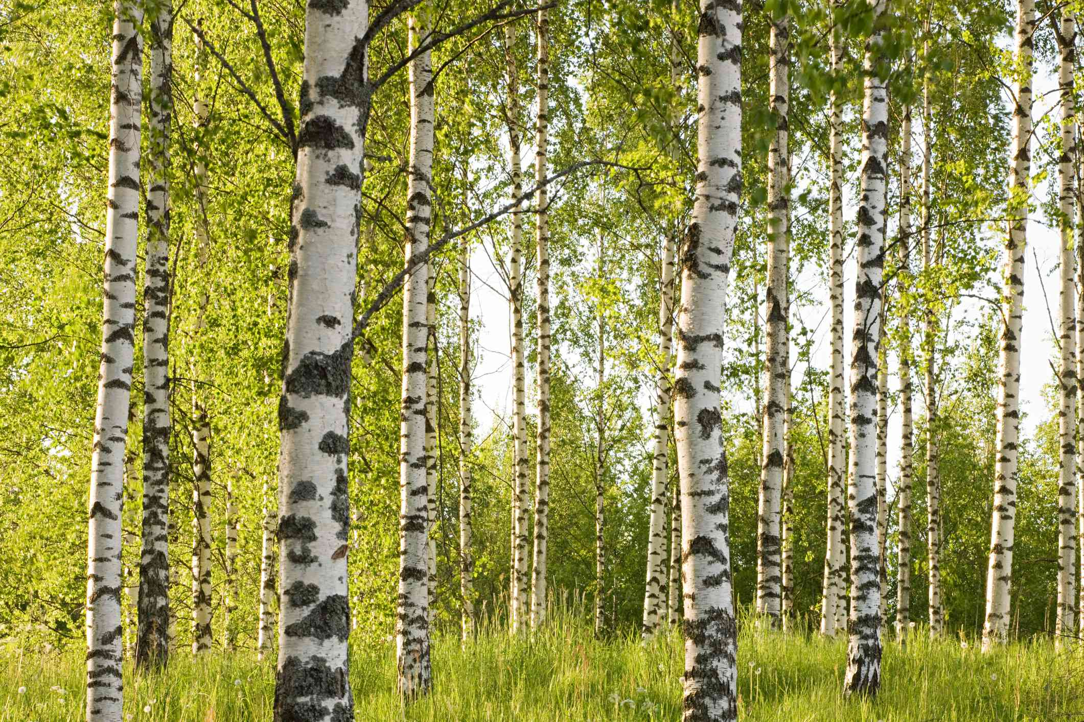 Birch trees in a forest.