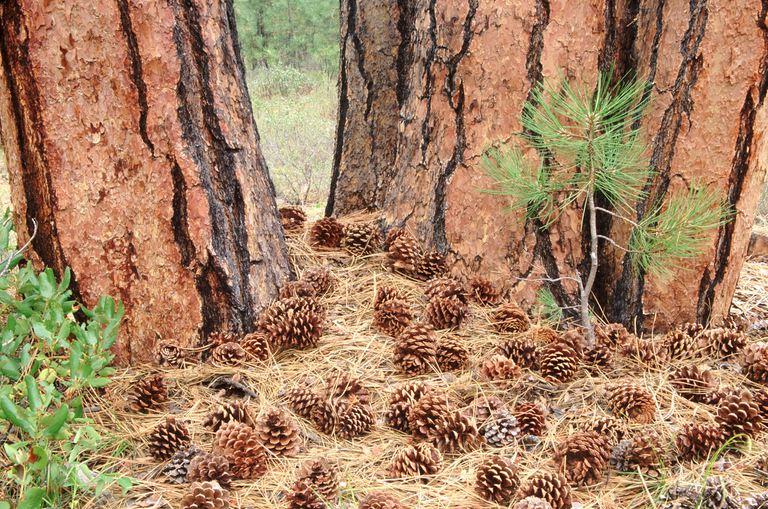 Ponderosa Pine growing amongst pinecones.