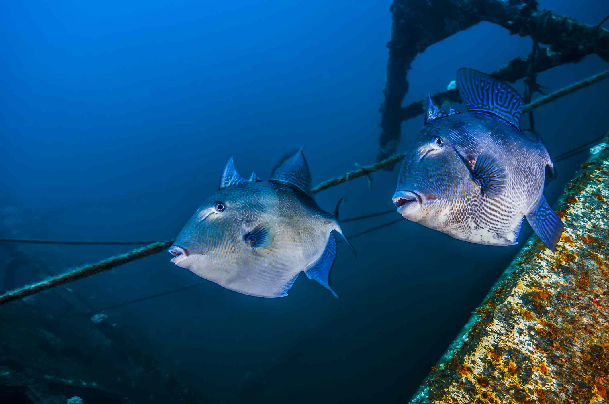 Triggerfish swimming amongst the USTS Texas Clipper wreck
