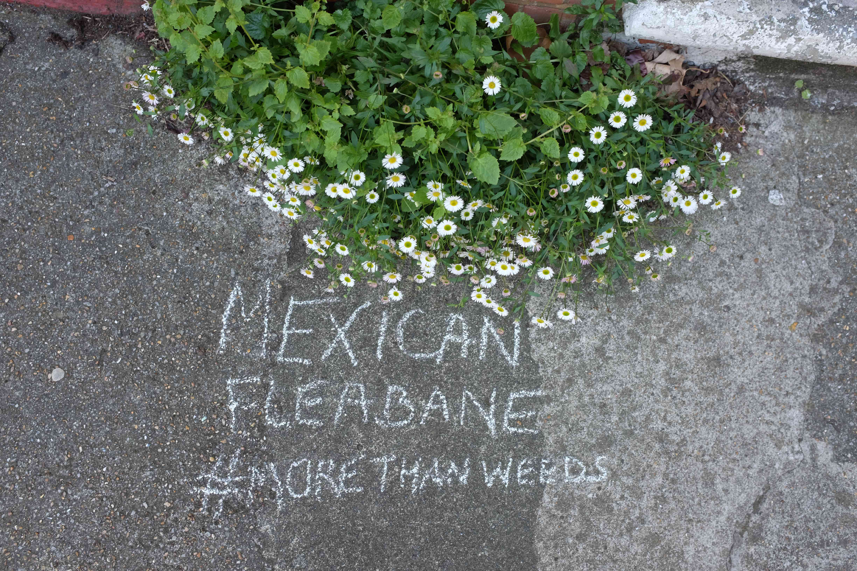 Mexican fleabane