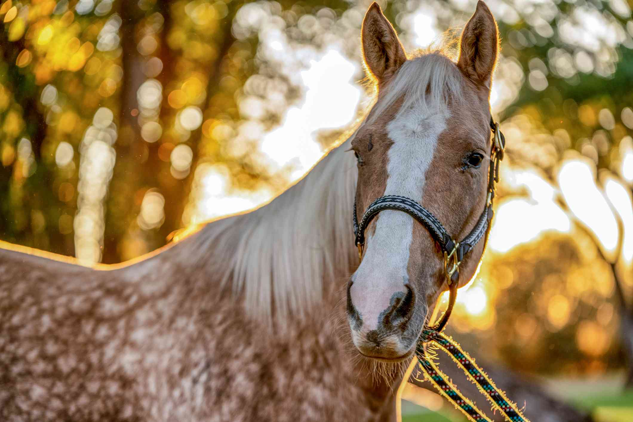 tan and white speckled horse with ears perked up tall while sun sets