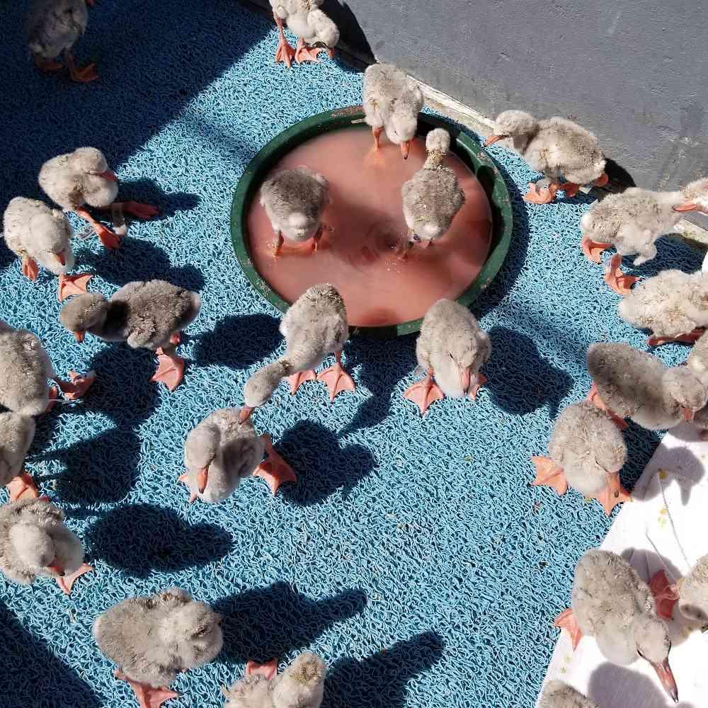 Flamingo chicks gather in the sun