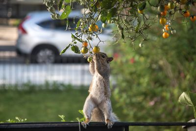 Squirrel standing on a fence and stretching to steal tomatoes
