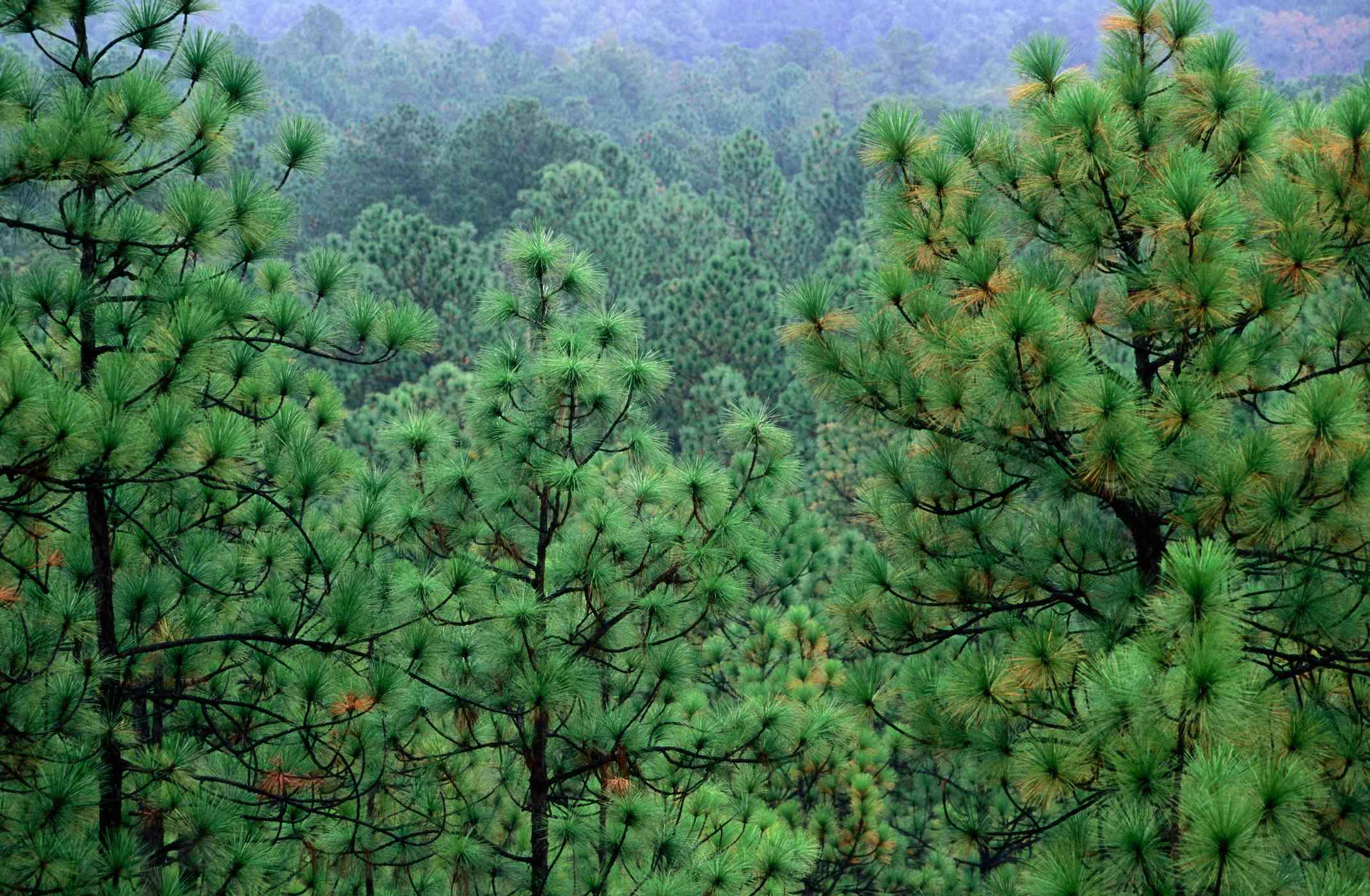 Longleaf pine forest.
