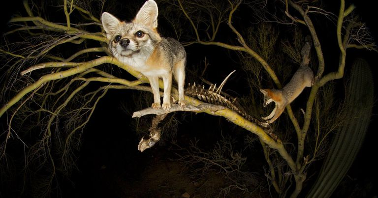 Gray foxes in a tree