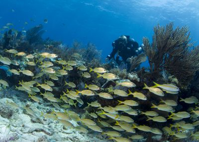 School of grunts in front of a scuba diver off the coast of Key Largo, Florida