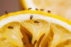 Fruit flies on a squeezed lemon slice.