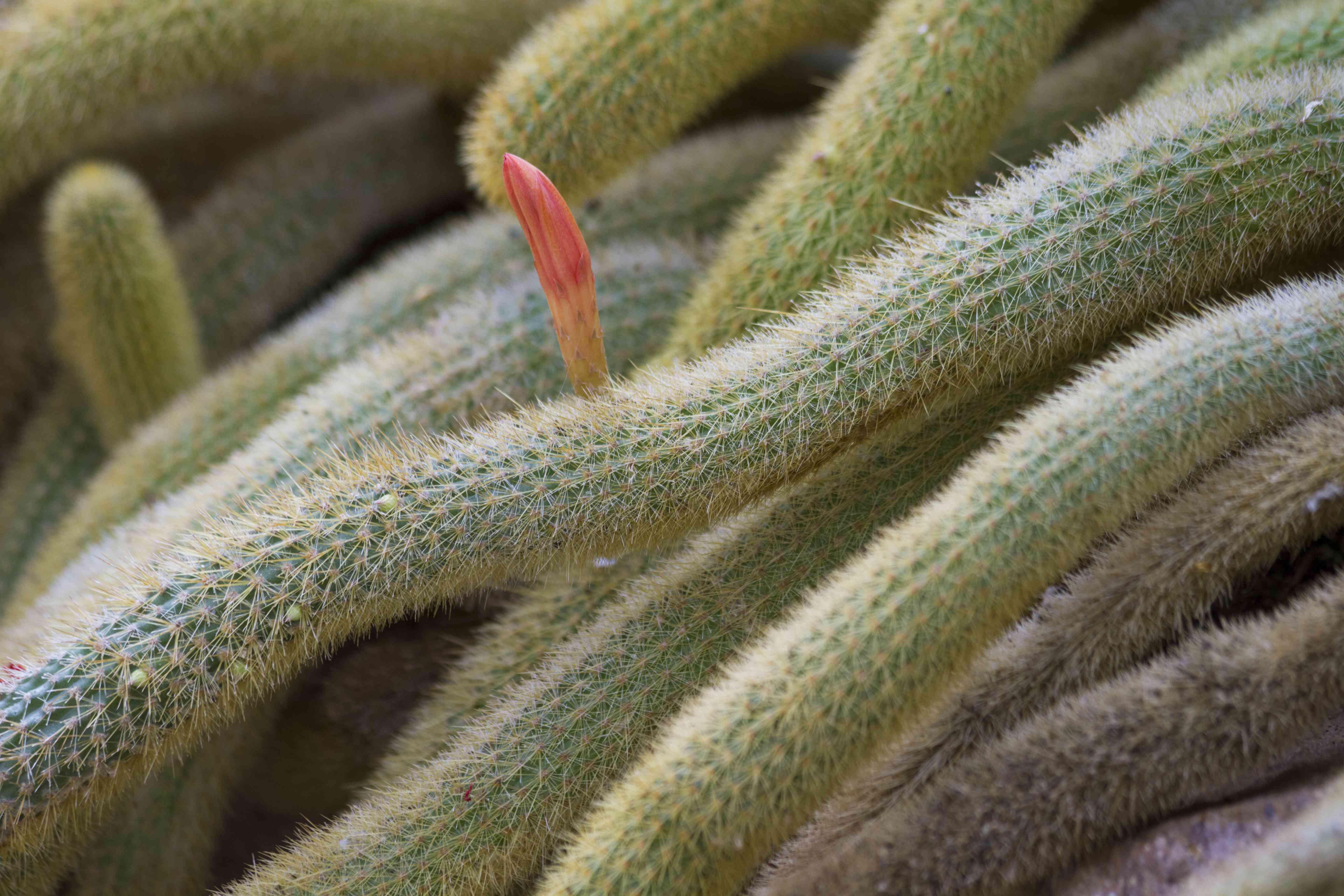 Closeup Of A Rat Tail Cactus Plant