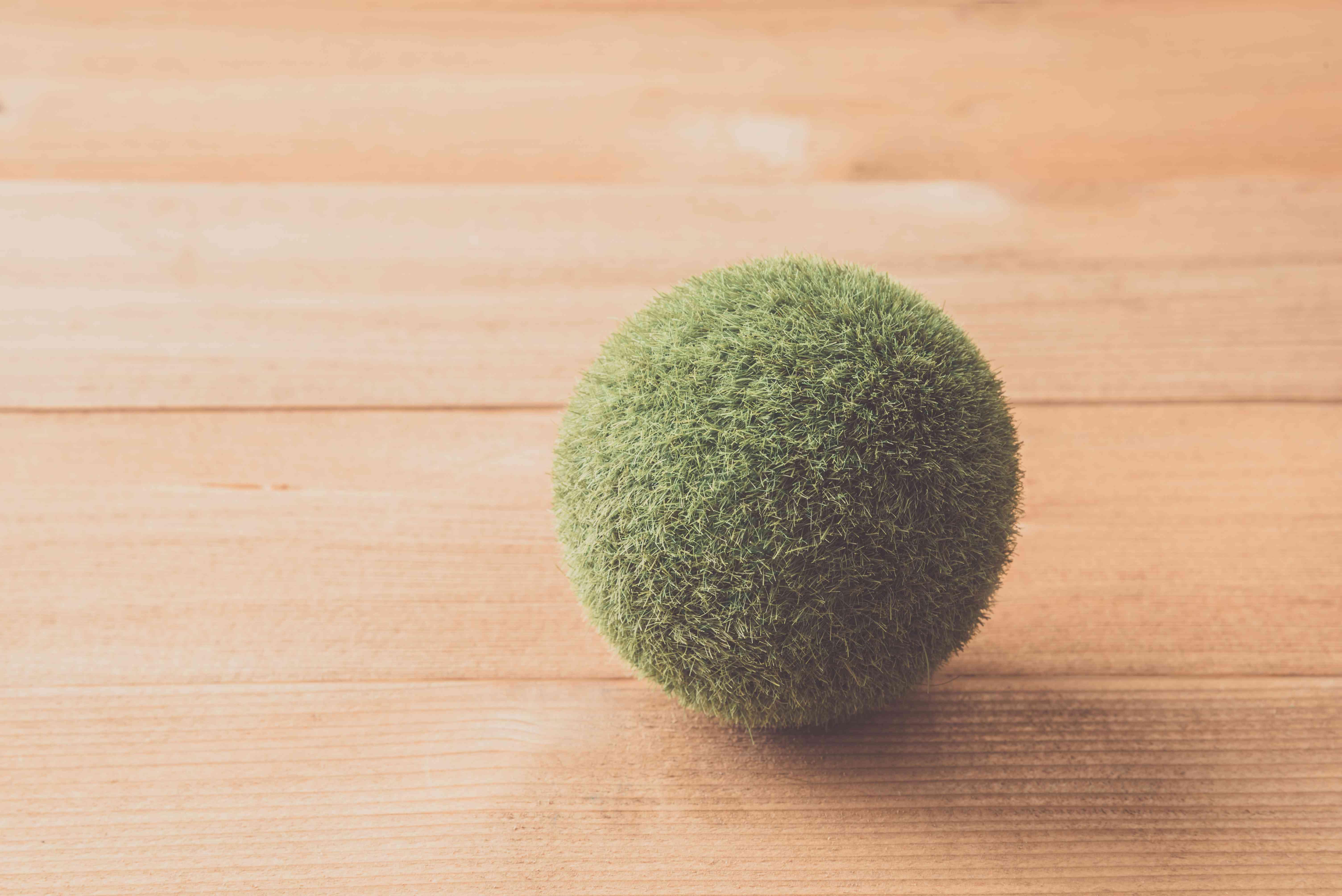 Marimo (moss ball) on the table
