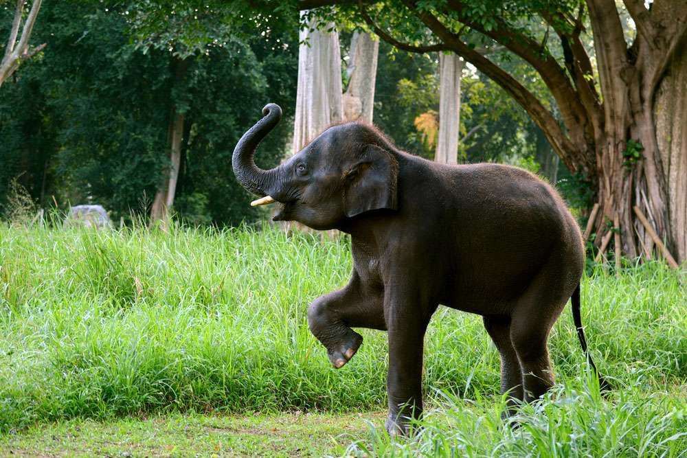 baby elephant lifts trunk and front leg