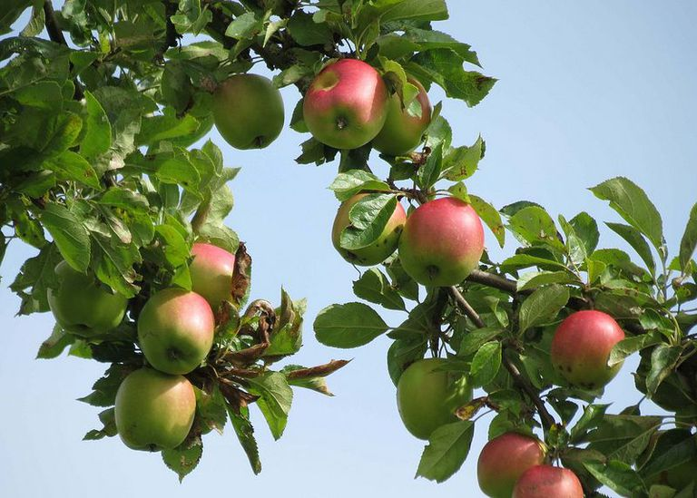 El hombre cultiva un árbol que produce 250 variedades diferentes de manzanas