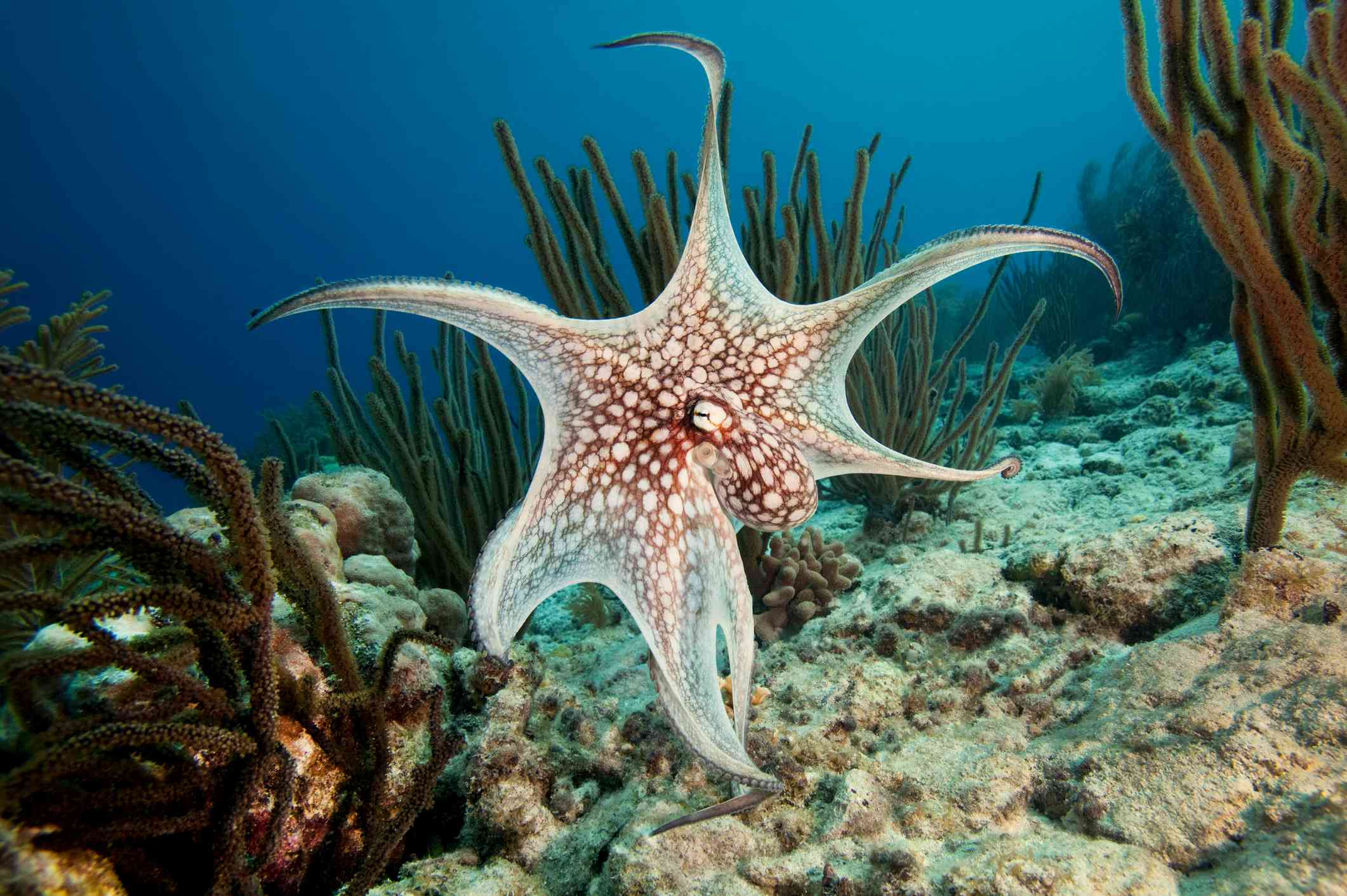 Common octopus with tentacles stretched swimming