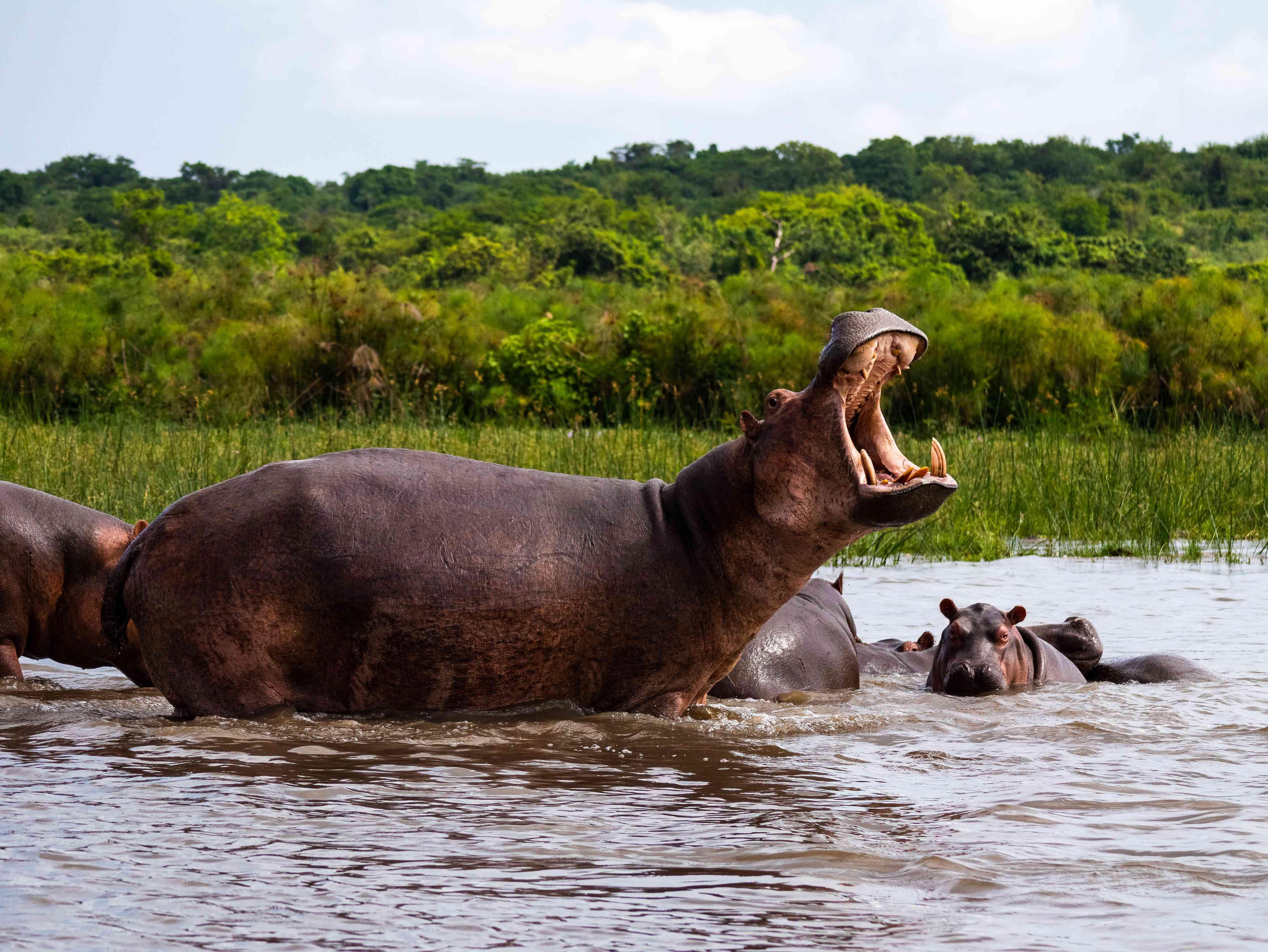 hippo yawning in the Nile River, Kenya