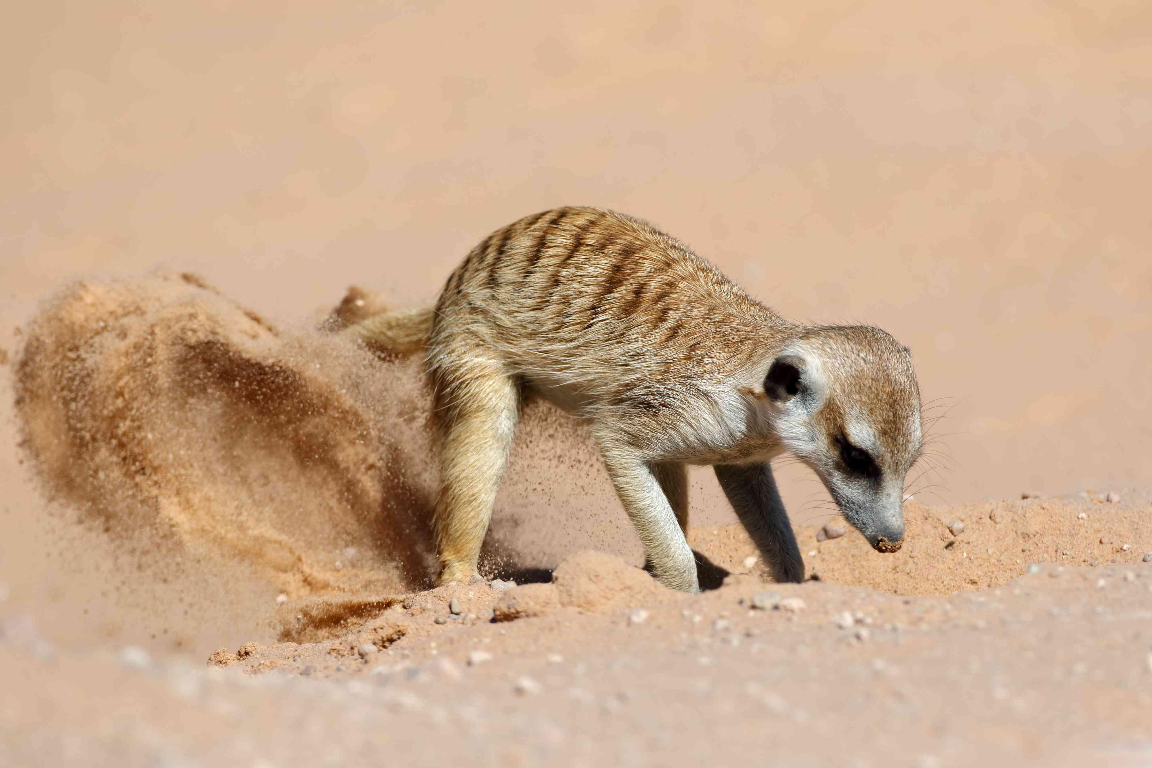 Meerkat Digging On Sand In Desert