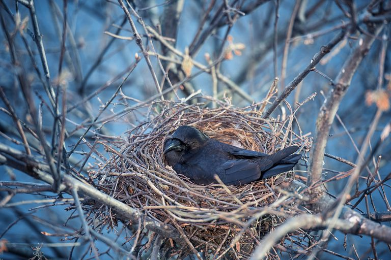 Crow sitting in a nest in a tree
