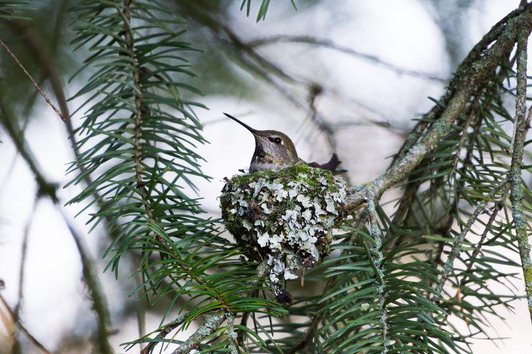 Por qué a los colibríes les gusta vivir cerca de los halcones