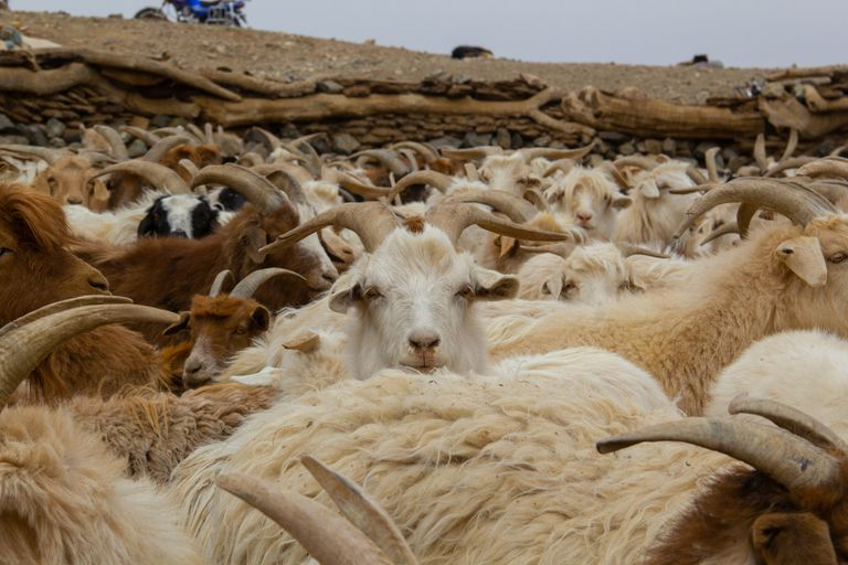 Goats in a very dry landscape huddling together.