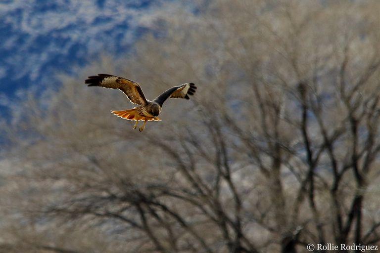 Foto: Cómo obtuvo su nombre el halcón de cola roja