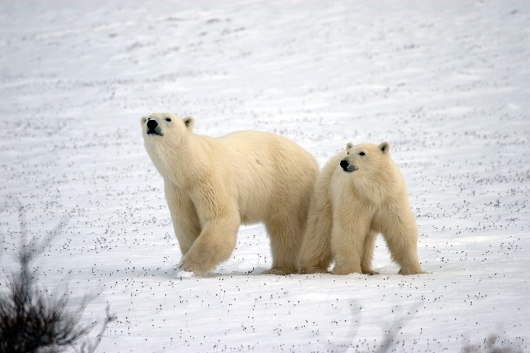 Pair of polar bears in the snow
