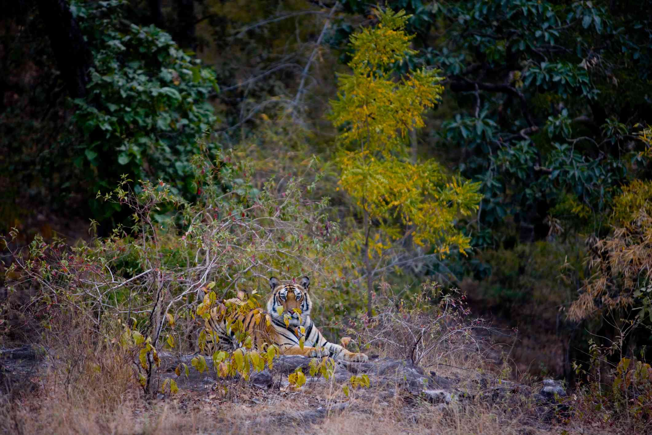 A tiger inside a national park reserve in India