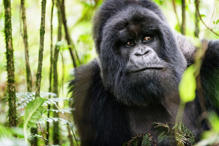 A worried looking mountain gorilla peers through the forest in Uganda