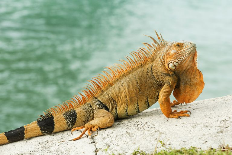 A light brown and orange iguana sits on a ledge by a body of water