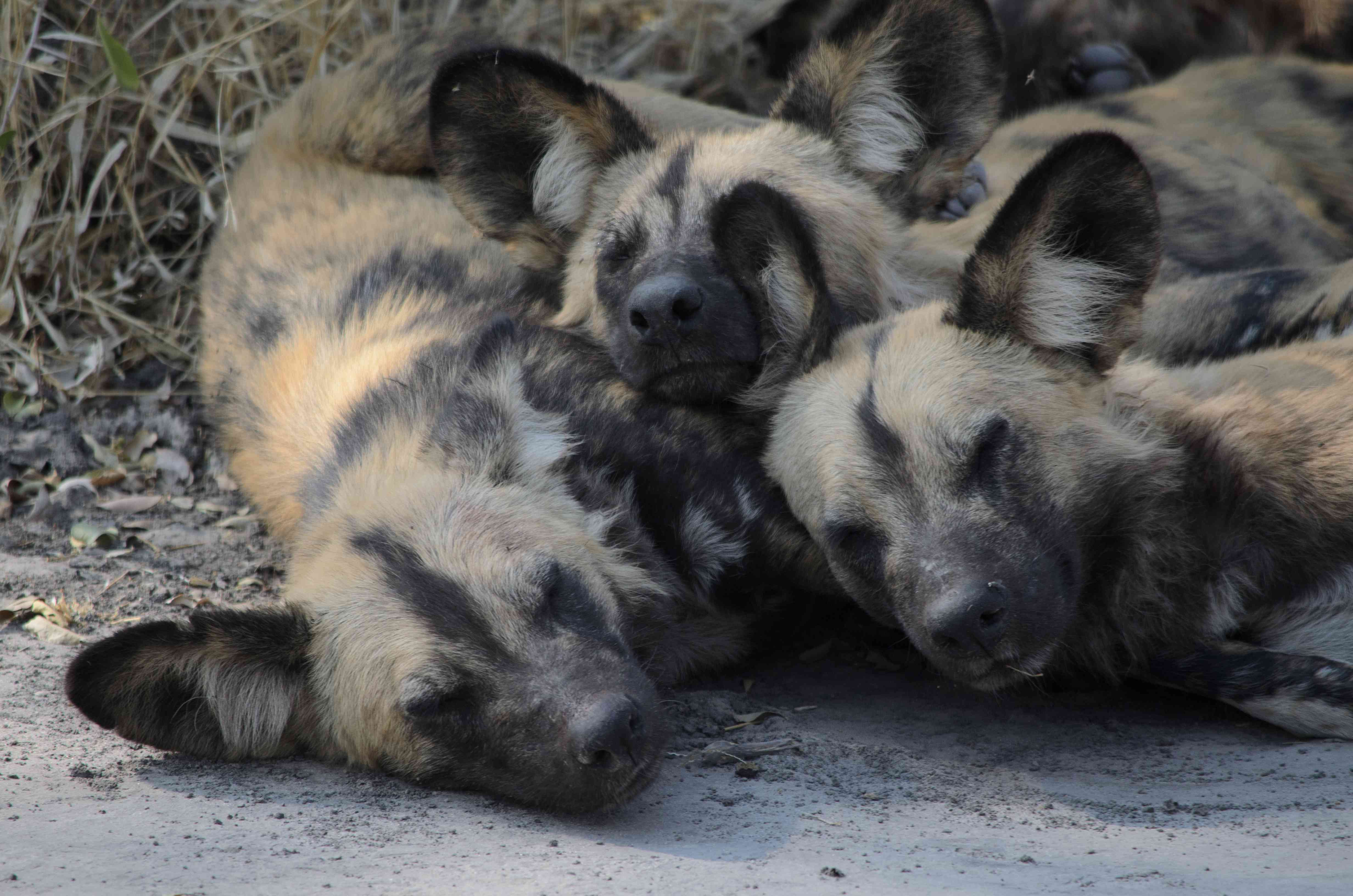 A pile of three African wild dogs snuggled up together on the ground with their eyes closed.