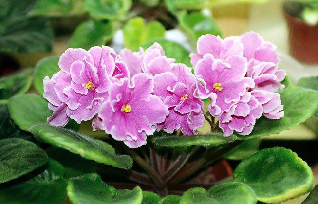 Saintpaulia ionantha 'Pink Amiss'