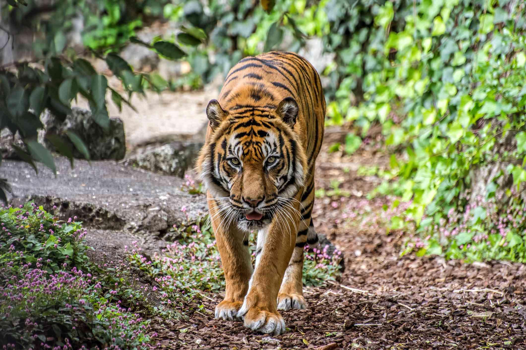 A small Sumatran tiger